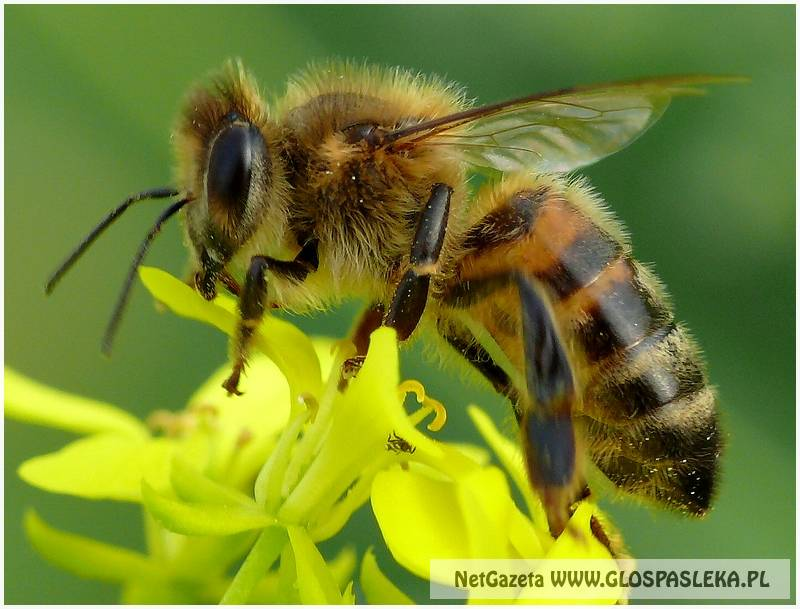 Giną pszczoły