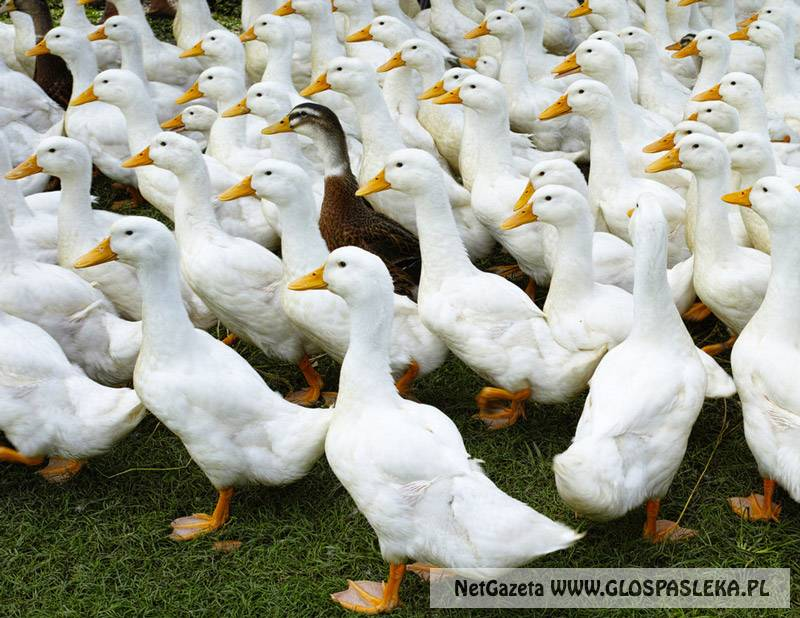 Uwaga ptasia grypa