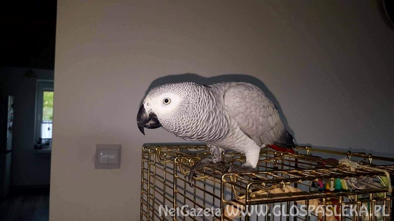 Uciekła papuga ŻAKO