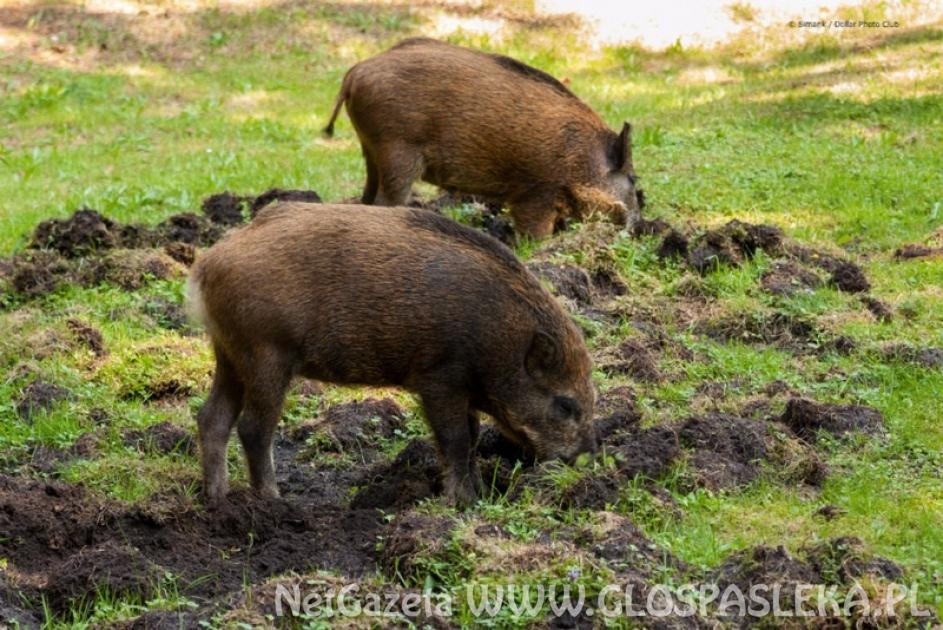 Uwaga - afrykański pomór świń